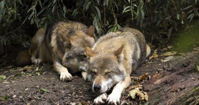 farkasok - falkaelmélet