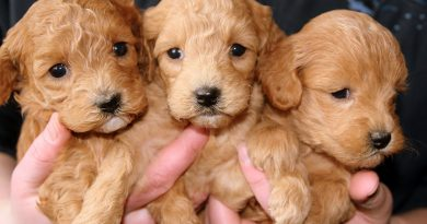 kutyatenyésztő, kölyökkutyák